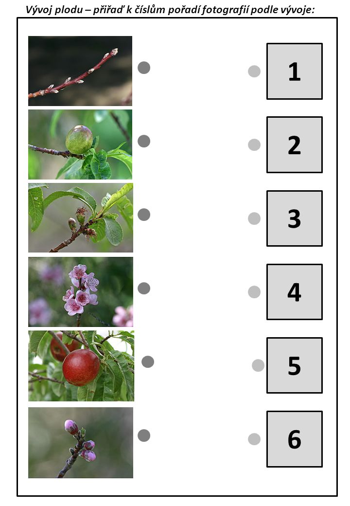 Vývoj plodu – přiřaď k číslům pořadí fotografií podle vývoje: