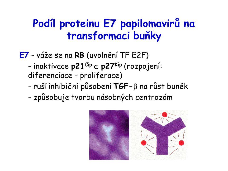 Podíl proteinu E7 papilomavirů na transformaci buňky