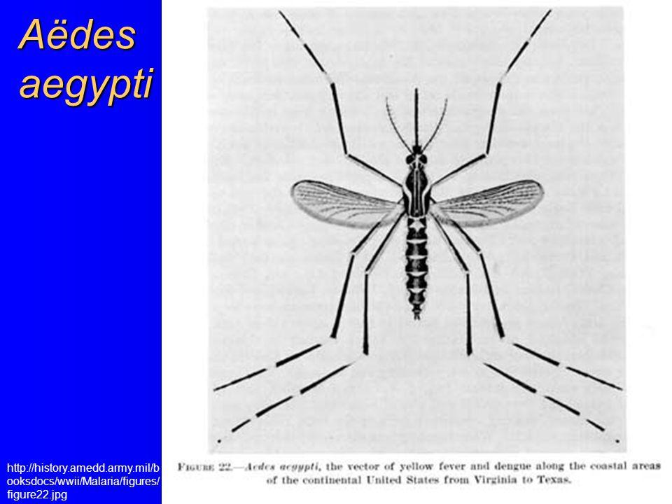 Aëdes aegypti http://history.amedd.army.mil/booksdocs/wwii/Malaria/figures/figure22.jpg