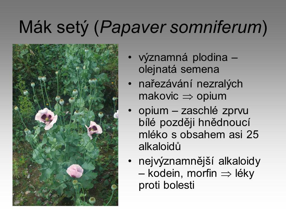 Mák setý (Papaver somniferum)