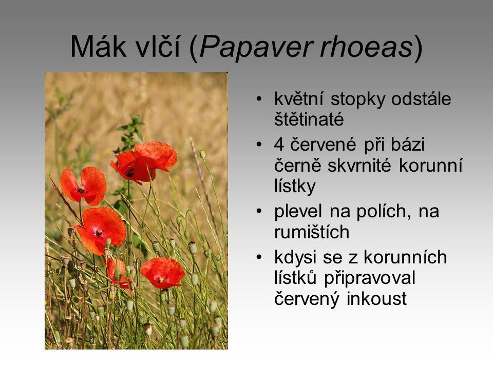 Mák vlčí (Papaver rhoeas)