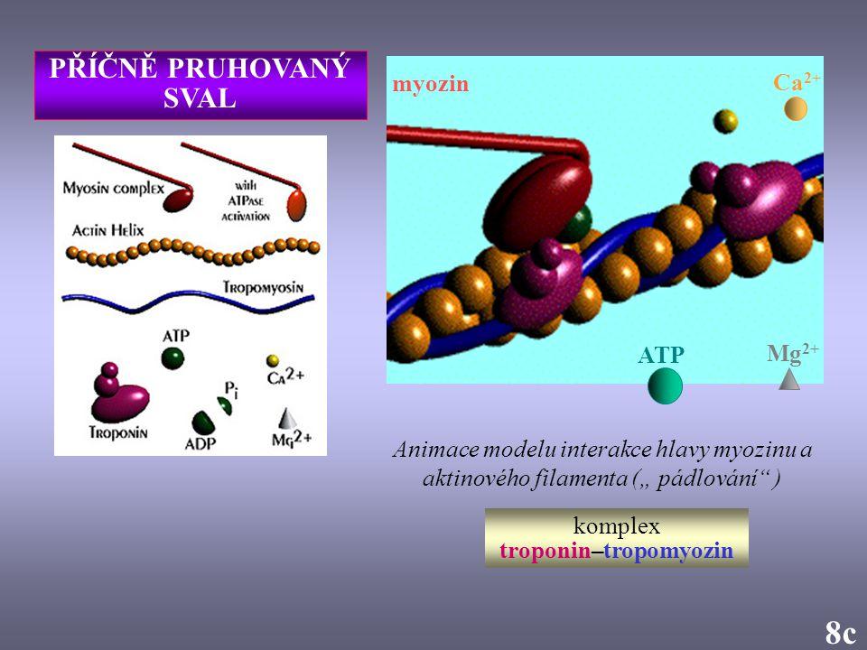 komplex troponin–tropomyozin
