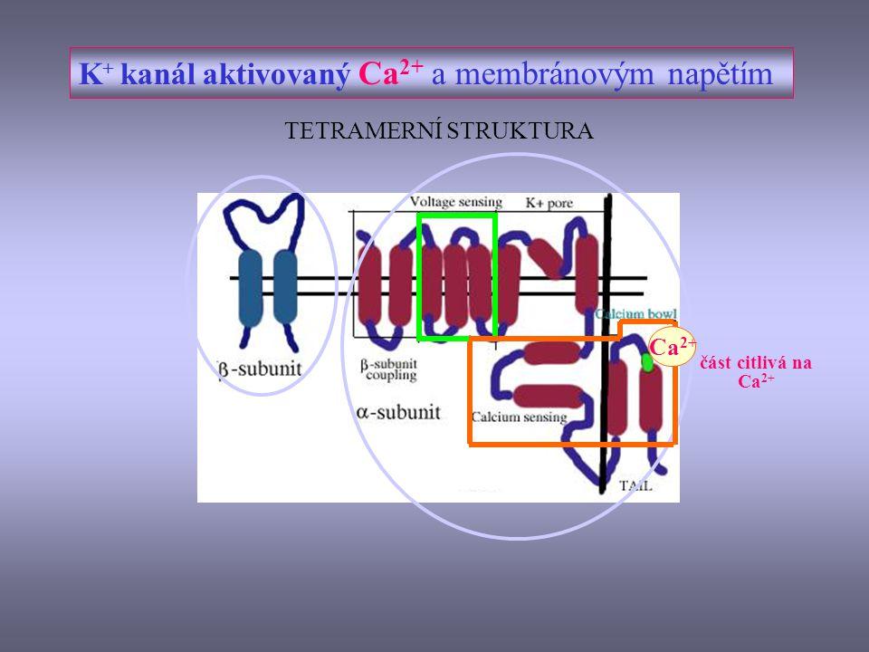 K+ kanál aktivovaný Ca2+ a membránovým napětím