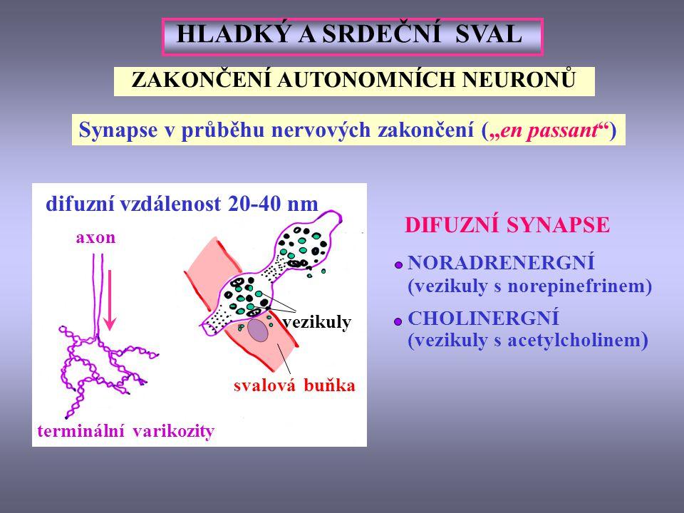 ZAKONČENÍ AUTONOMNÍCH NEURONŮ difuzní vzdálenost 20-40 nm