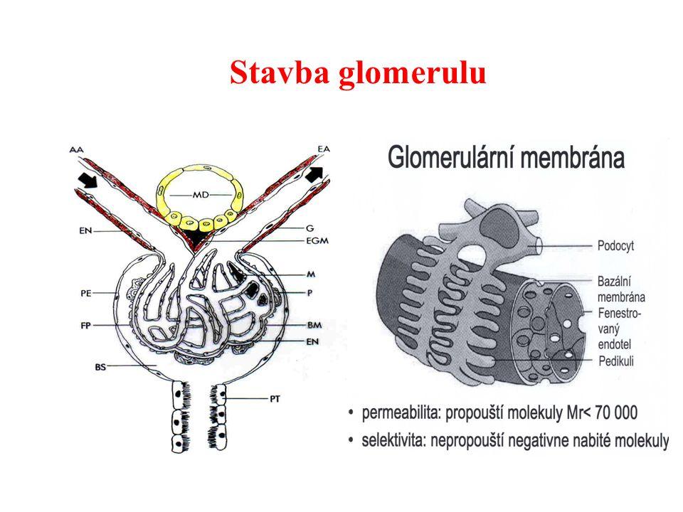 Stavba glomerulu