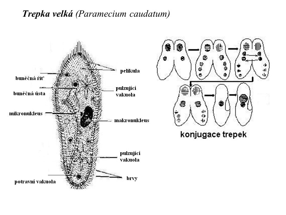 Trepka velká (Paramecium caudatum)