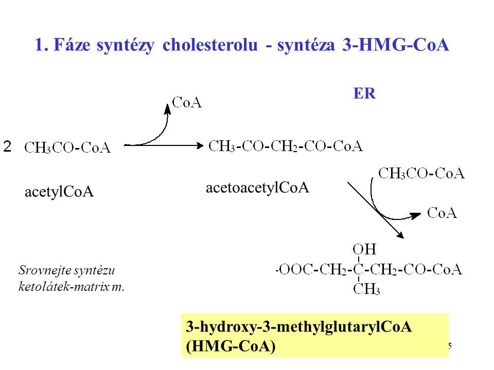 1. Fáze syntézy cholesterolu - syntéza 3-HMG-CoA