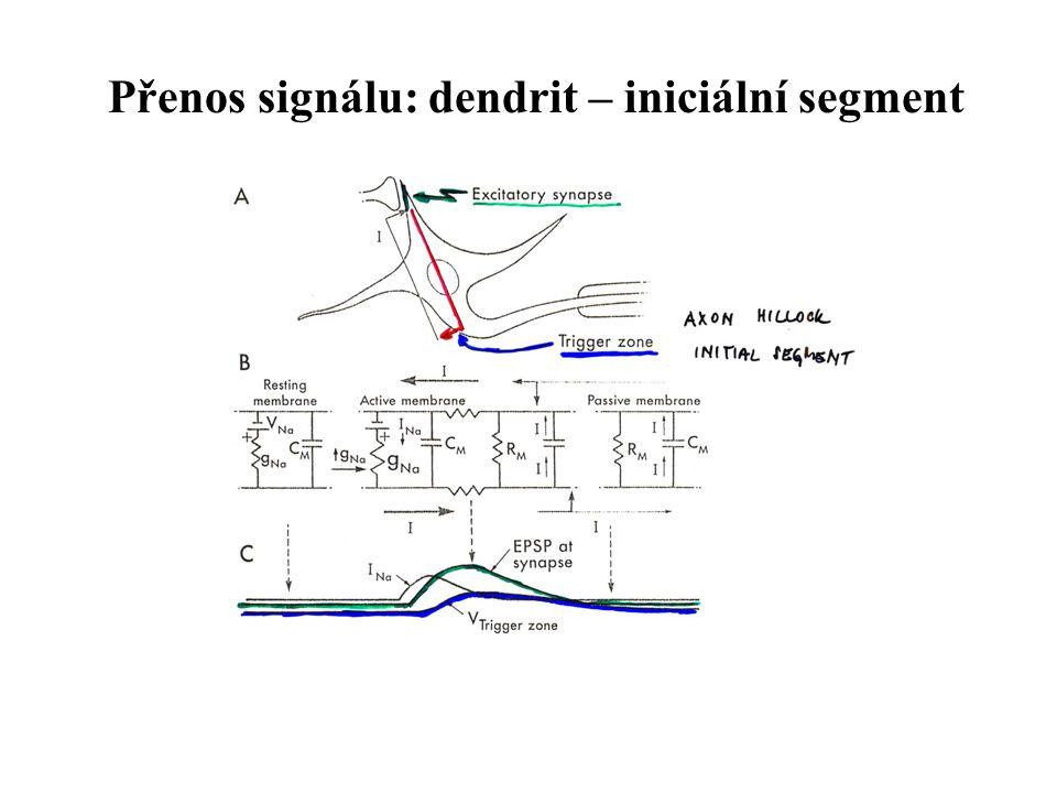 Přenos signálu: dendrit – iniciální segment