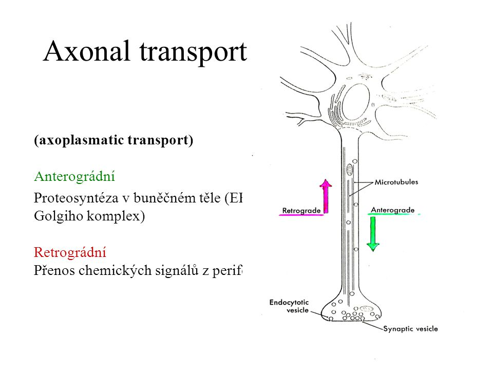Axonal transport (axoplasmatic transport) Anterográdní
