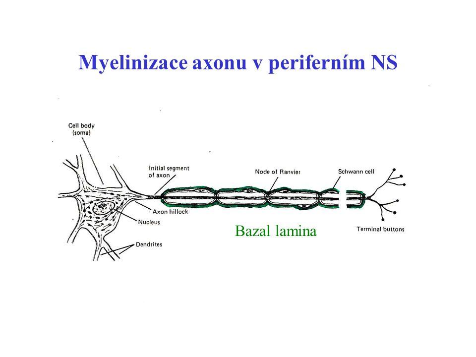 Myelinizace axonu v periferním NS
