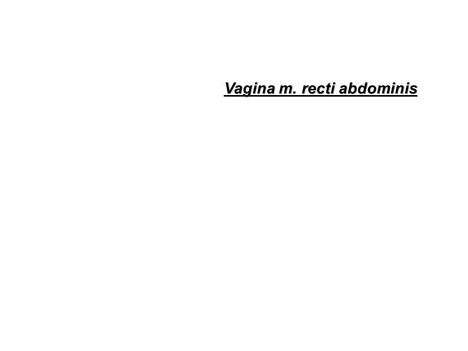 Vagina m. recti abdominis