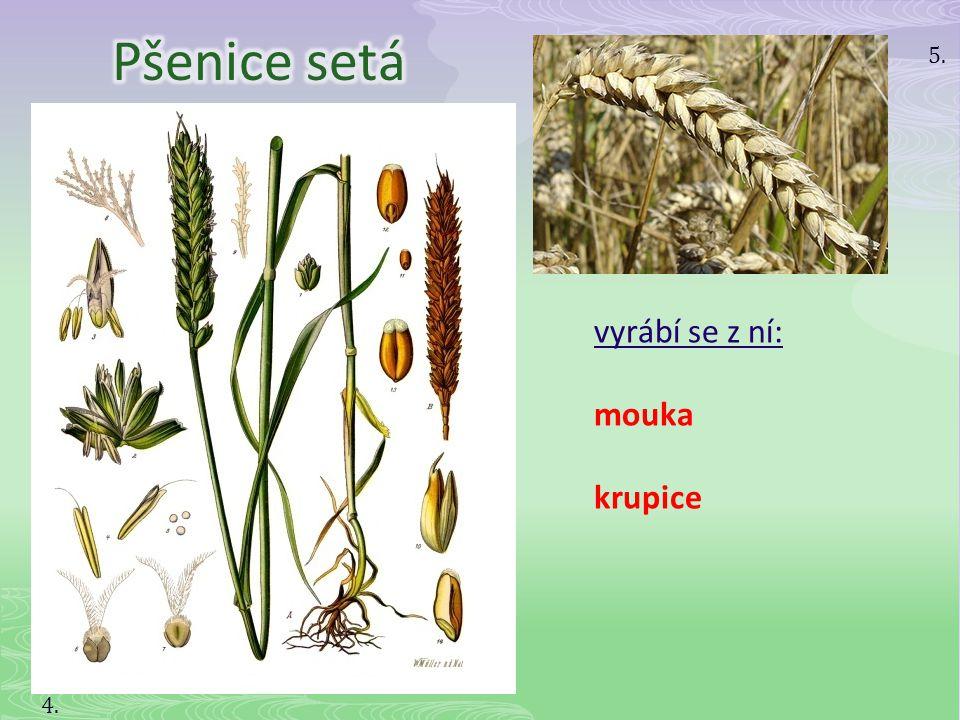 Pšenice setá 5. vyrábí se z ní: mouka krupice 4.