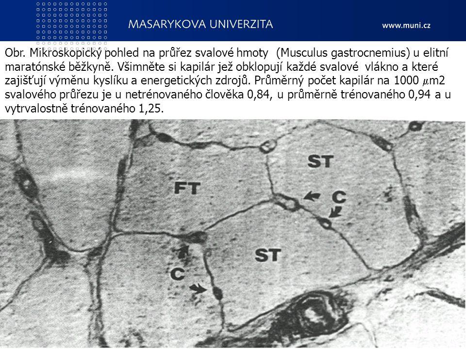 Obr. Mikroskopický pohled na průřez svalové hmoty (Musculus gastrocnemius) u elitní maratónské běžkyně. Všimněte si kapilár jež obklopují každé svalové vlákno a které zajišťují výměnu kyslíku a energetických zdrojů. Průměrný počet kapilár na 1000 m2 svalového průřezu je u netrénovaného člověka 0,84, u průměrně trénovaného 0,94 a u vytrvalostně trénovaného 1,25.