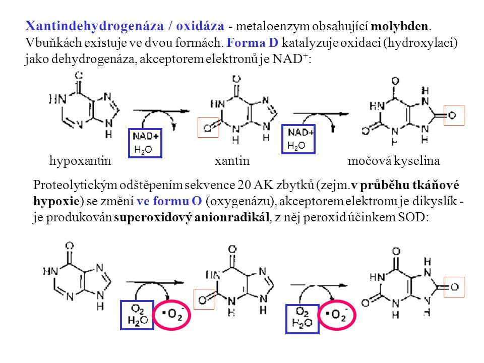 Xantindehydrogenáza / oxidáza - metaloenzym obsahující molybden.