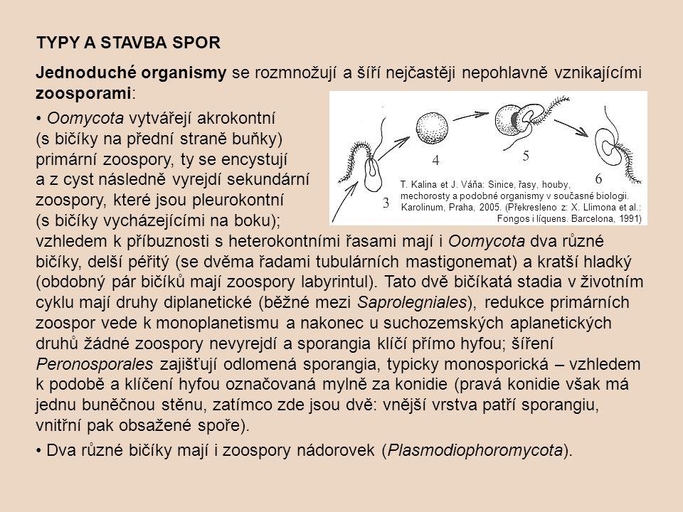 • Oomycota vytvářejí akrokontní (s bičíky na přední straně buňky)