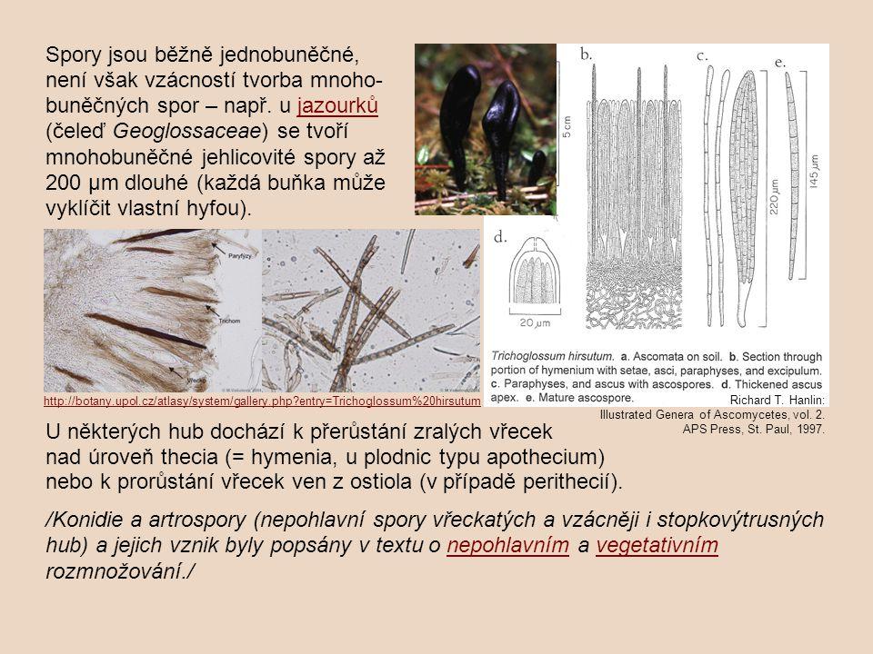 U některých hub dochází k přerůstání zralých vřecek