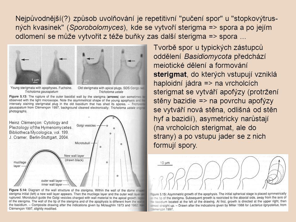Nejpůvodnější( ) způsob uvolňování je repetitivní pučení spor u stopkovýtrus-ných kvasinek (Sporobolomyces), kde se vytvoří sterigma => spora a po jejím odlomení se může vytvořit z téže buňky zas další sterigma => spora ...