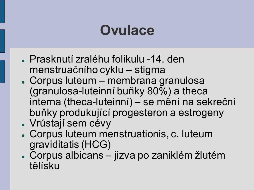 Ovulace Prasknutí zraléhu folikulu -14. den menstruačního cyklu – stigma.