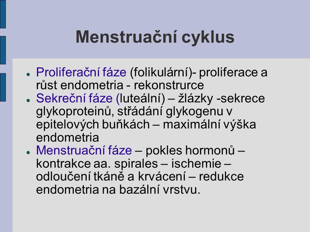 Menstruační cyklus Proliferační fáze (folikulární)- proliferace a růst endometria - rekonstrurce.