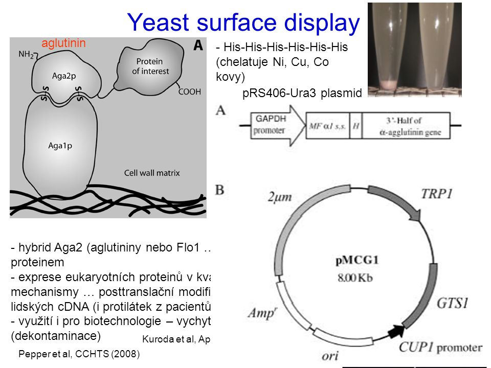 Yeast surface display aglutinin - His-His-His-His-His-His