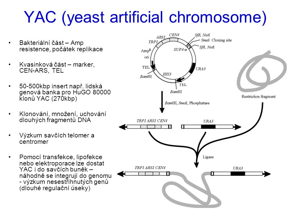 YAC (yeast artificial chromosome)