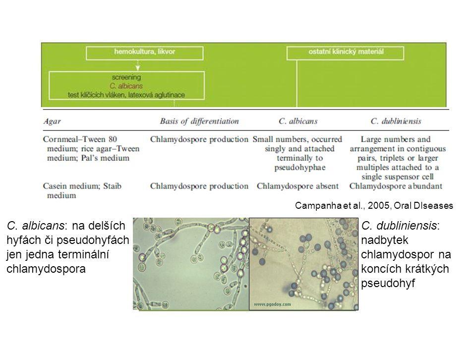 C. dubliniensis: nadbytek chlamydospor na koncích krátkých pseudohyf
