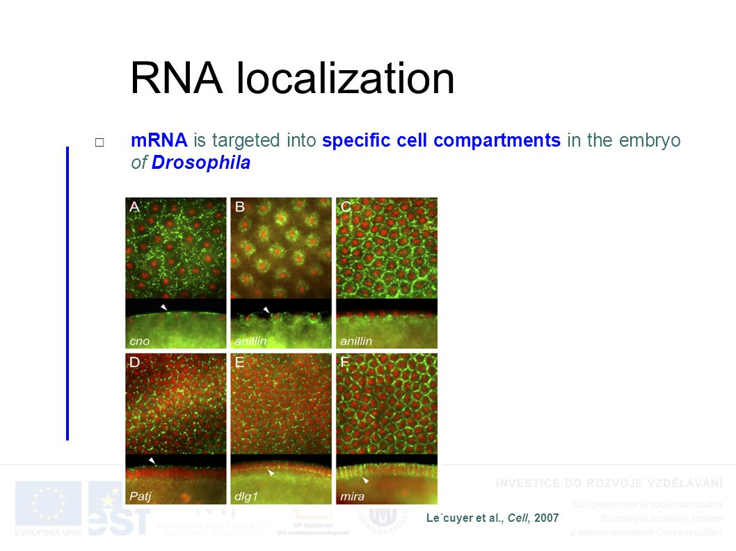 RNA localization mRNA is targeted into specific cell compartments in the embryo of Drosophila. Le´cuyer et al., Cell, 2007.
