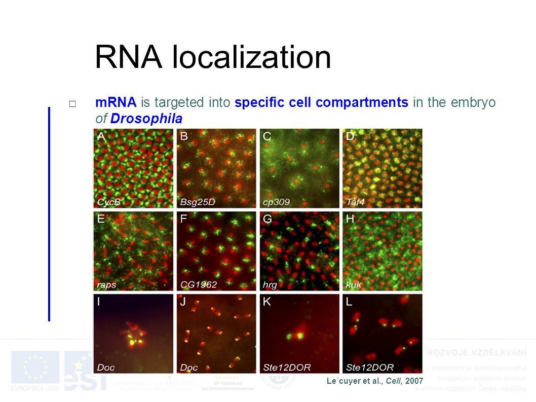 RNA localization mRNA is targeted into specific cell compartments in the embryo of Drosophila.