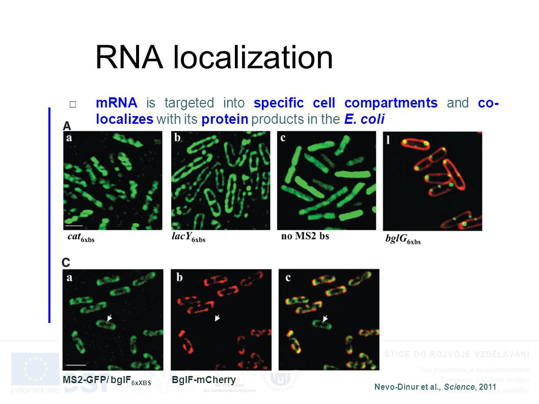 RNA localization mRNA is targeted into specific cell compartments and co-localizes with its protein products in the E. coli.