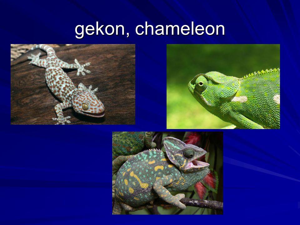 gekon, chameleon