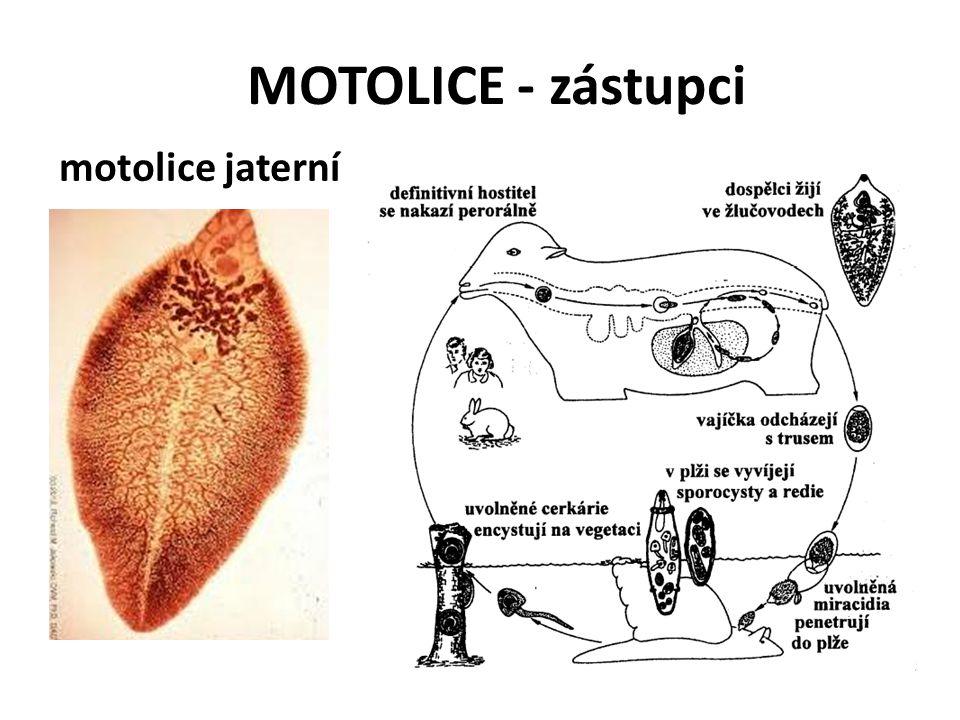 MOTOLICE - zástupci motolice jaterní