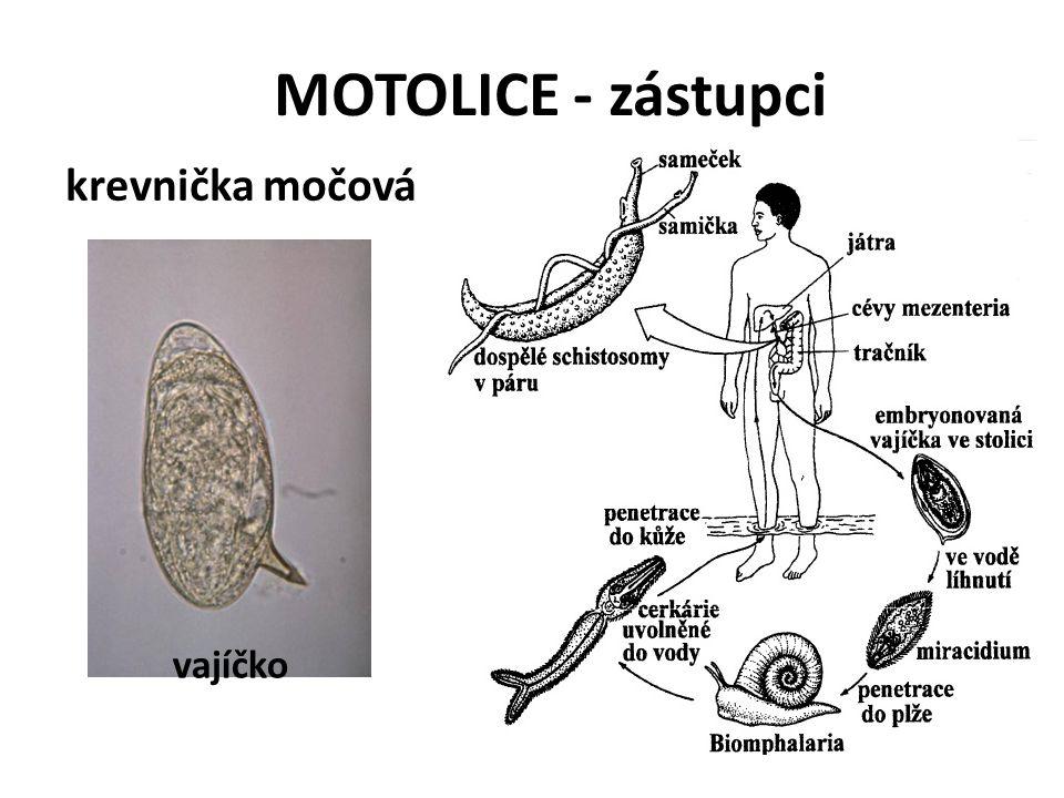 MOTOLICE - zástupci krevnička močová vajíčko