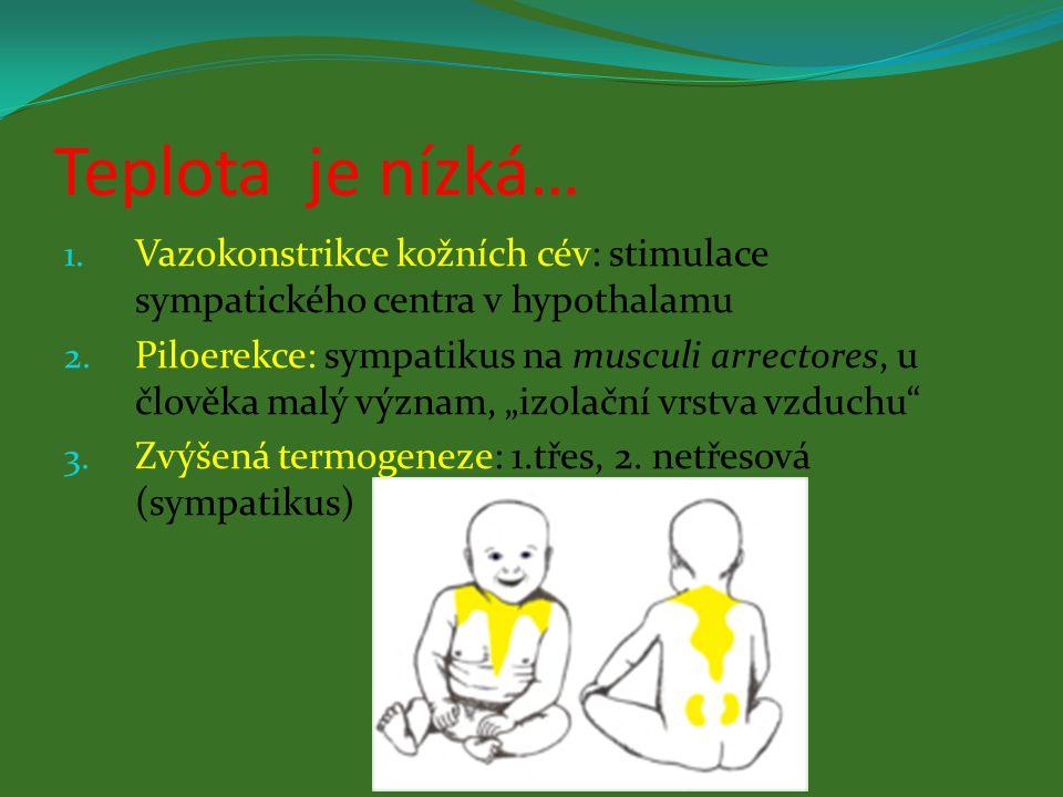 Teplota je nízká… Vazokonstrikce kožních cév: stimulace sympatického centra v hypothalamu.