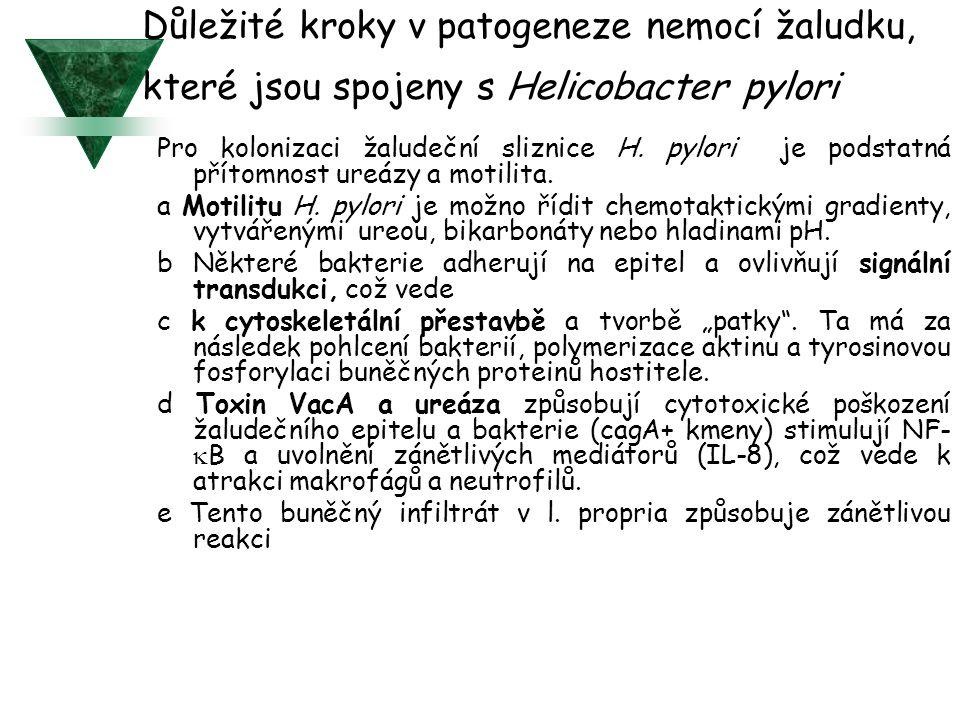 Důležité kroky v patogeneze nemocí žaludku, které jsou spojeny s Helicobacter pylori
