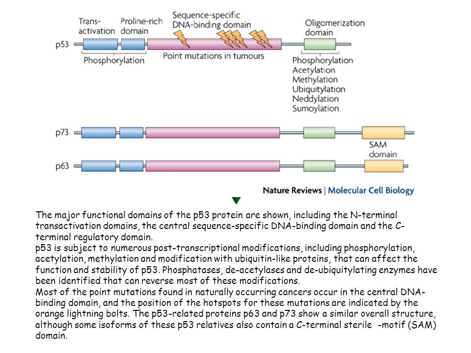 The major functional domains of the p53 protein are shown, including the N-terminal transactivation domains, the central sequence-specific DNA-binding domain and the C-terminal regulatory domain.