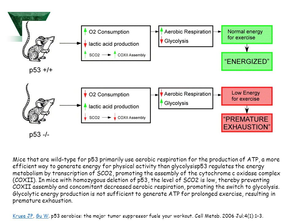 Mice that are wild-type for p53 primarily use aerobic respiration for the production of ATP, a more efficient way to generate energy for physical activity than glycolysisp53 regulates the energy metabolism by transcription of SCO2, promoting the assembly of the cytochrome c oxidase complex (COXII). In mice with homozygous deletion of p53, the level of SCO2 is low, thereby preventing COXII assembly and concomitant decreased aerobic respiration, promoting the switch to glycolysis. Glycolytic energy production is not sufficient to generate ATP for prolonged exercise, resulting in premature exhaustion.