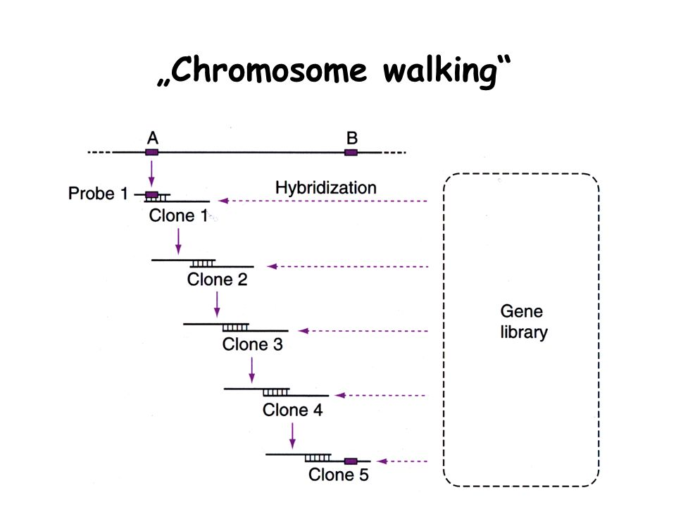 """Chromosome walking"