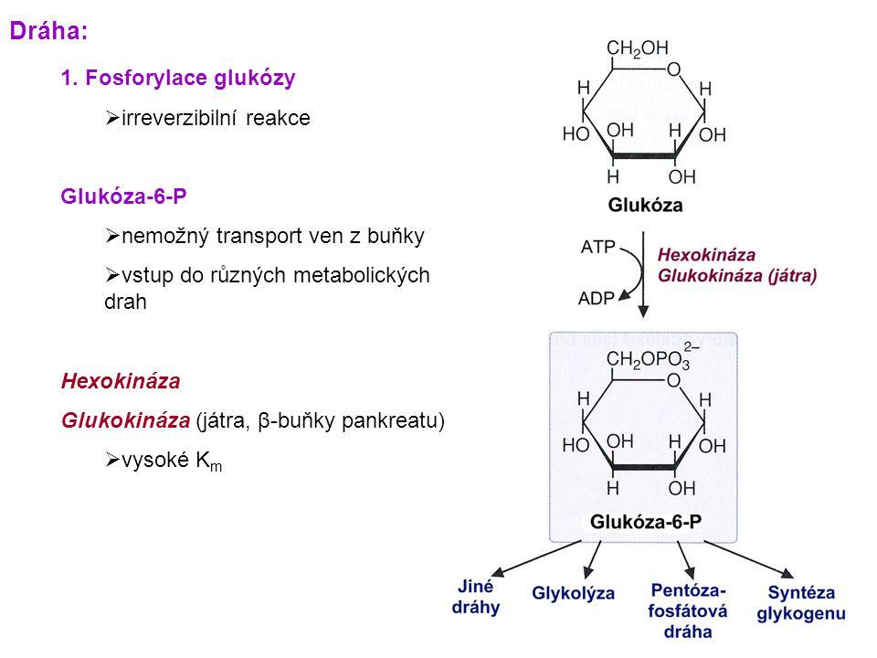 Dráha: 1. Fosforylace glukózy irreverzibilní reakce Glukóza-6-P