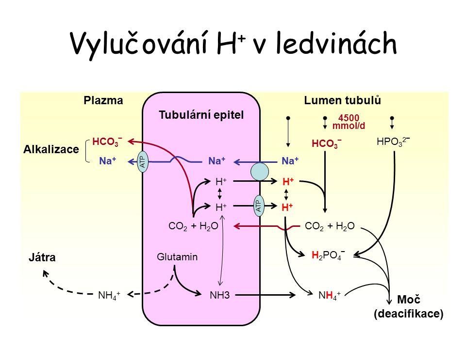 Vylučování H+ v ledvinách