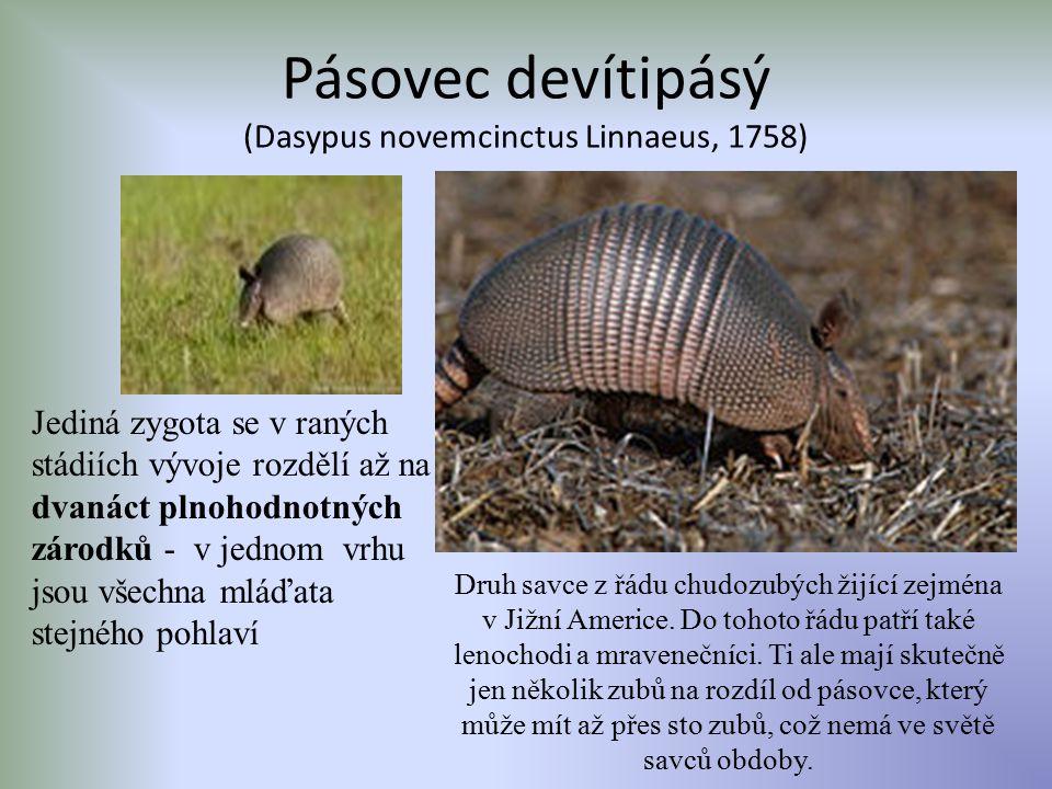 Pásovec devítipásý (Dasypus novemcinctus Linnaeus, 1758)