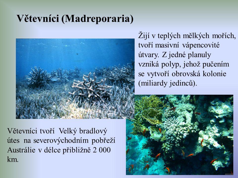Větevníci (Madreporaria)