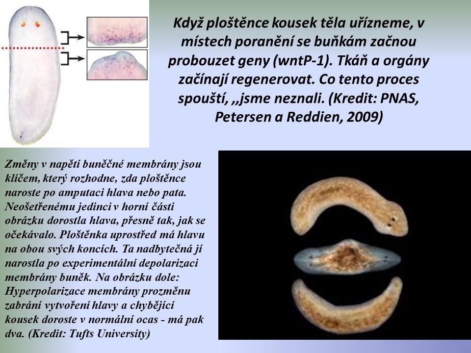 Když ploštěnce kousek těla uřízneme, v místech poranění se buňkám začnou probouzet geny (wntP-1). Tkáň a orgány začínají regenerovat. Co tento proces spouští, ,,jsme neznali. (Kredit: PNAS, Petersen a Reddien, 2009)