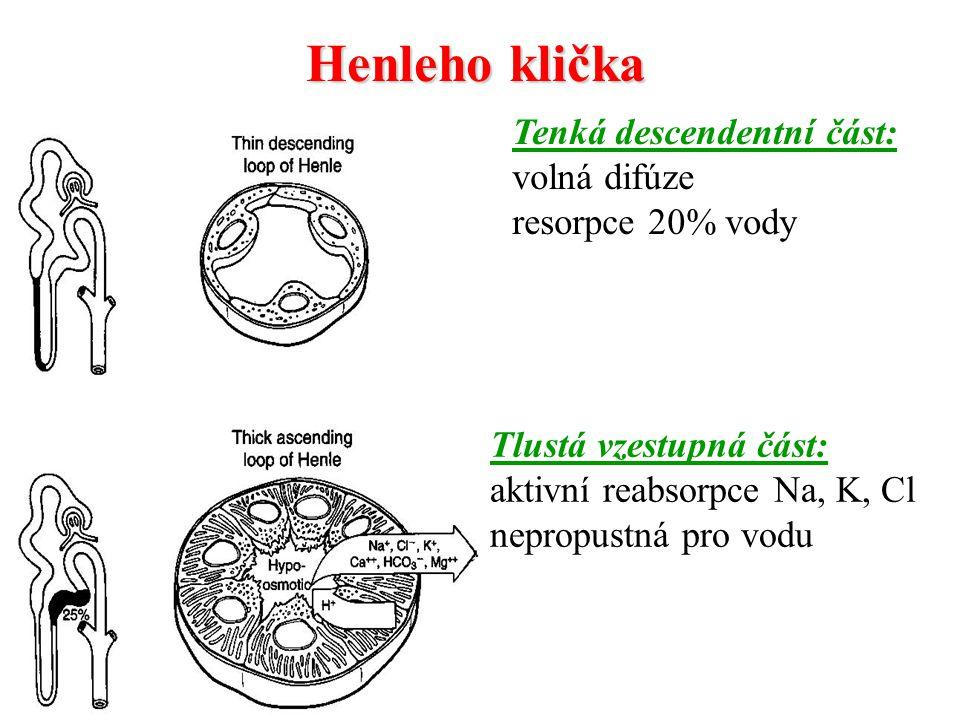 Henleho klička Tenká descendentní část: volná difúze resorpce 20% vody