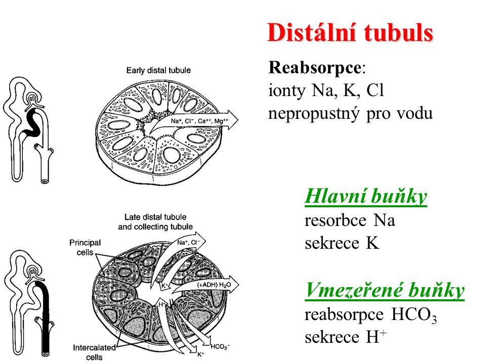 Distální tubuls Hlavní buňky Vmezeřené buňky Reabsorpce: