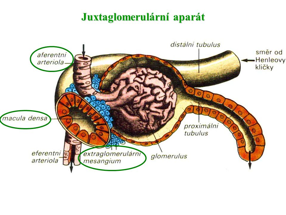 Juxtaglomerulární aparát