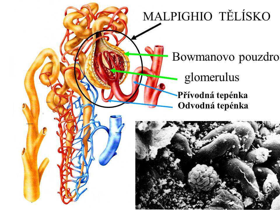MALPIGHIO TĚLÍSKO Bowmanovo pouzdro glomerulus Přívodná tepénka