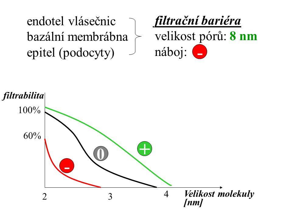 - + - endotel vlásečnic filtrační bariéra bazální membrábna