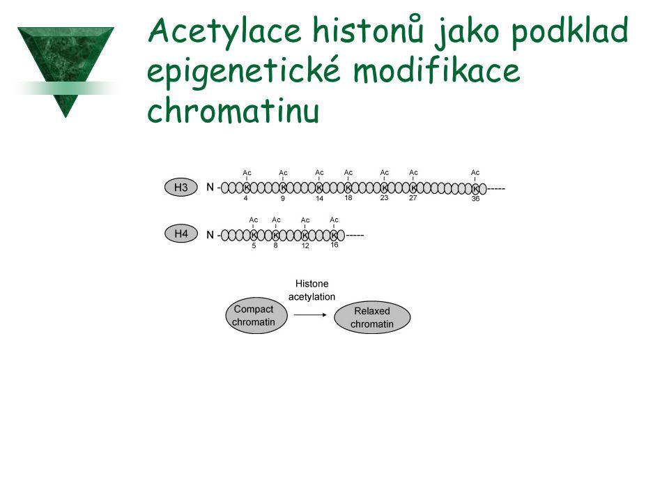 Acetylace histonů jako podklad epigenetické modifikace chromatinu