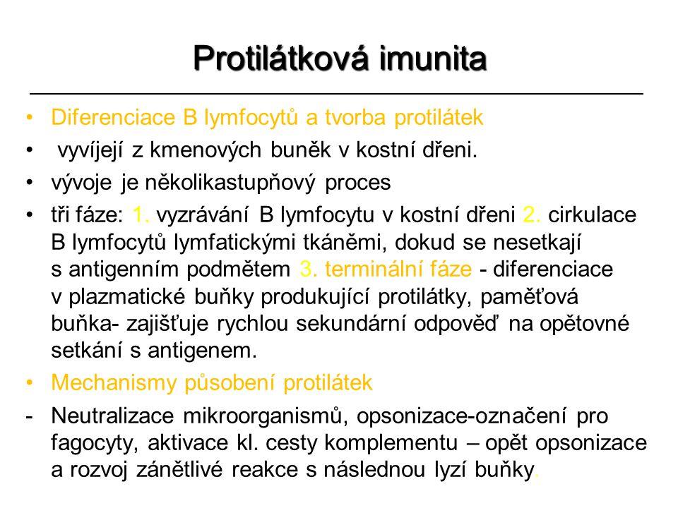 Protilátková imunita Diferenciace B lymfocytů a tvorba protilátek