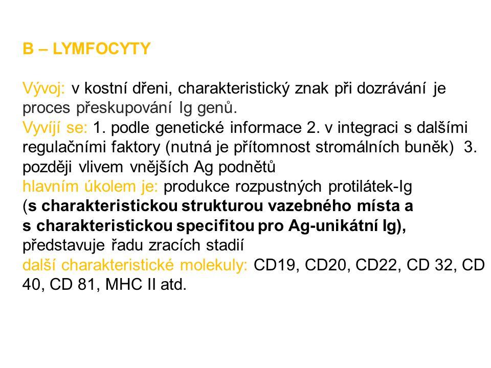 B – LYMFOCYTY Vývoj: v kostní dřeni, charakteristický znak při dozrávání je proces přeskupování Ig genů.